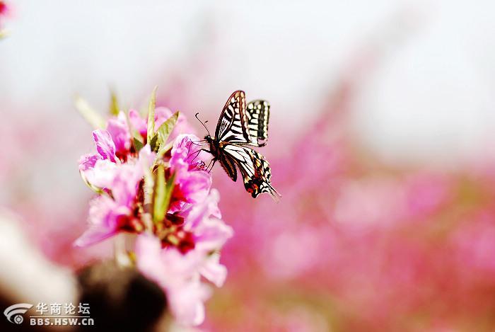 遍地桃花开 偶有蝴蝶来