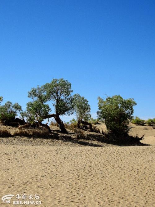大漠胡杨林