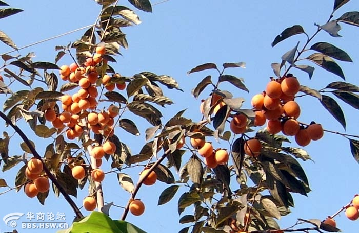 白鹿塬秋季喜获丰收