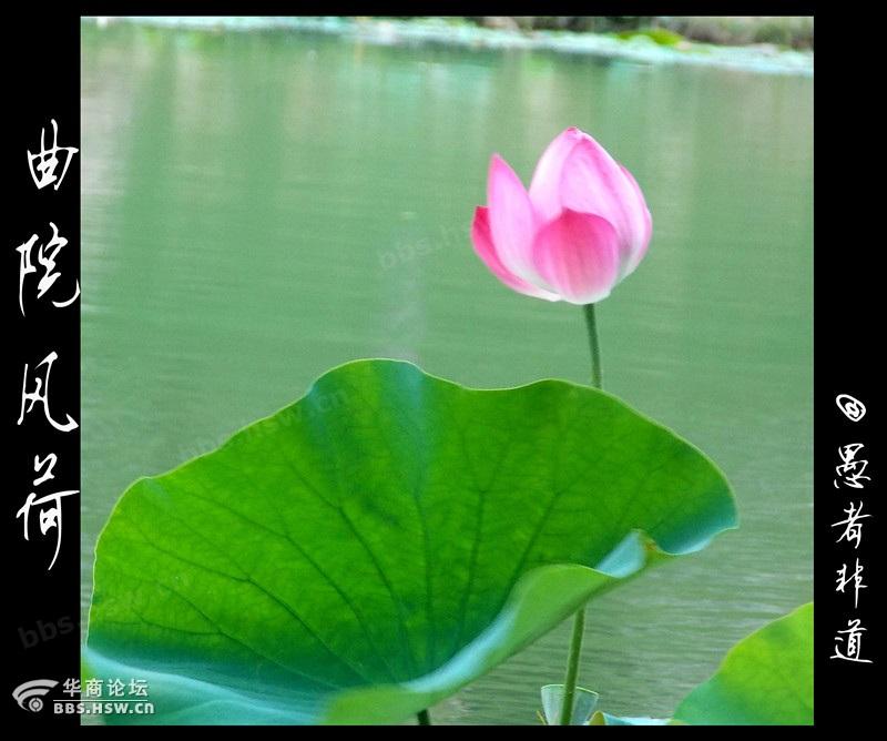 水陆草木之花 莲