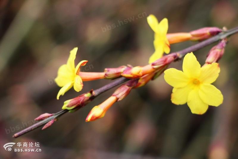 迎春花开了
