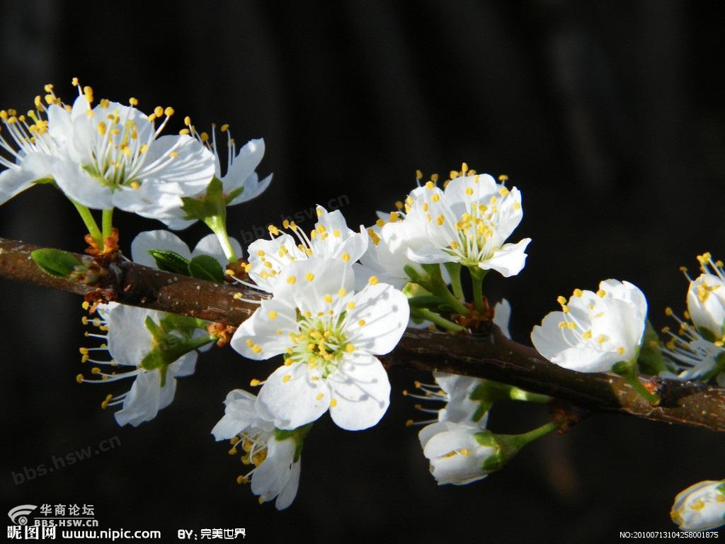 樱花/则是樱桃树的花,和樱花不同,它的果实是可食用的樱桃。二者不...