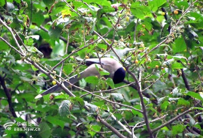 .在此期间看到樱桃树上有不少鸟鸟,举起相机拍了几张.现在回家了图片