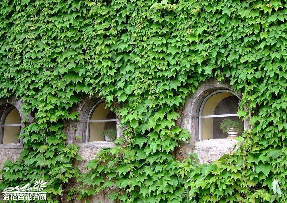 石堍等/夏季枝叶茂密,常攀缘在墙壁或岩石上,适于配植宅院墙壁、围墙...