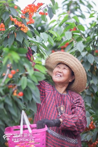 我们进园时正赶上农工采摘,果园的气氛真热闹,一片丰收的景象.图片