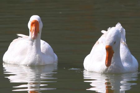 个母鹅呆在一起怎么会下蛋呢 -终于弄清楚为什么没有公鹅母鹅照样图片
