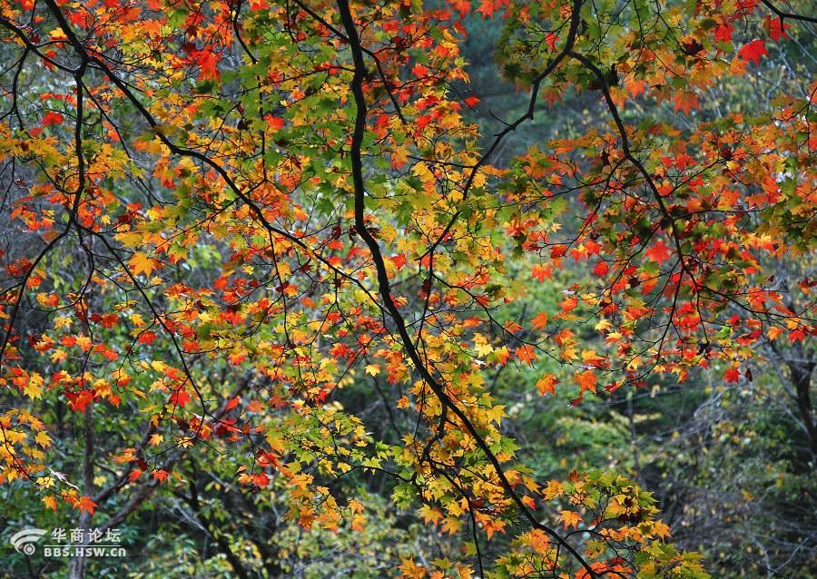 最美红叶在茨沟